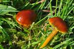 Hygrocybe psittacina var. perplexa